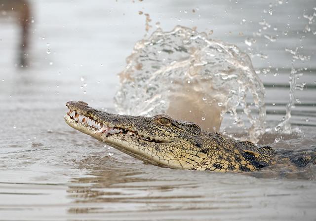 Nile Crocodile (Explored), Crocodylus niloticus, Msuna Fishing Resort, Zambezi River, Zimbabwe
