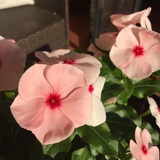 Vinca #vinca #flower #garden #pink #pinkflower #plants #gardenersnotebook | by dewelch
