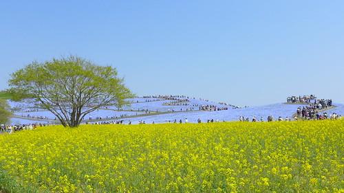 ネモフィラの花咲く国営ひたち海浜公園