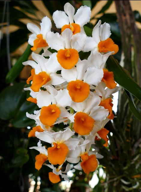 Dendrobium thyrsiflorum species orchid