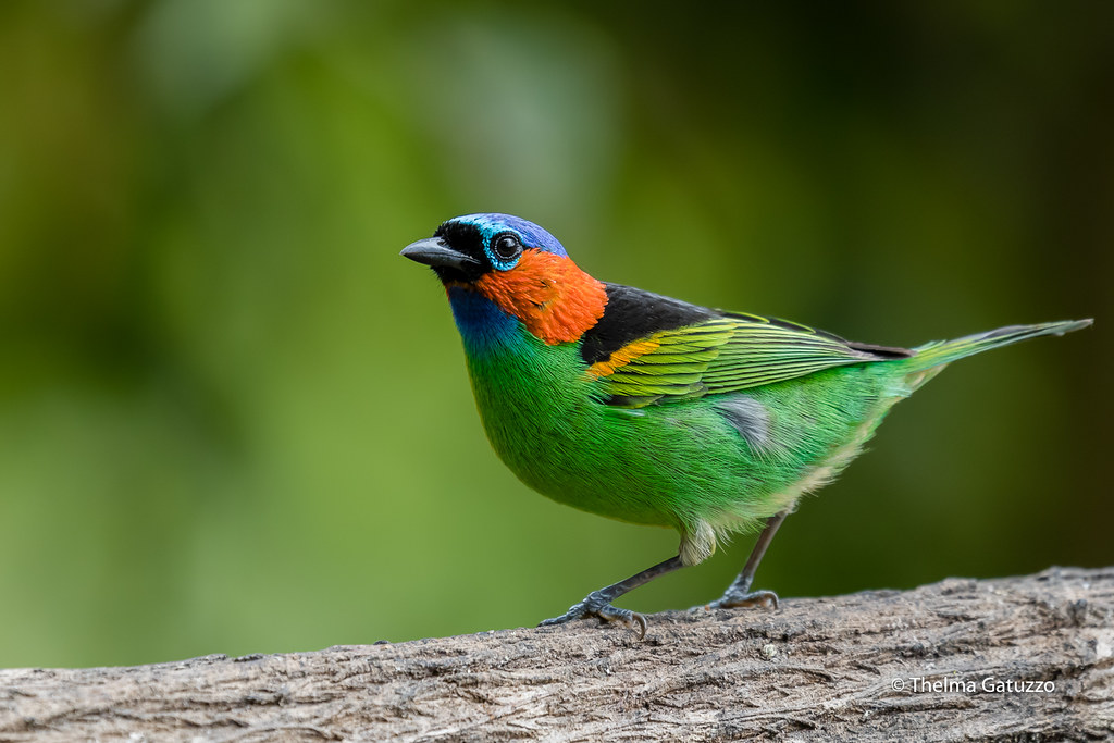 Red-necked Tanager
