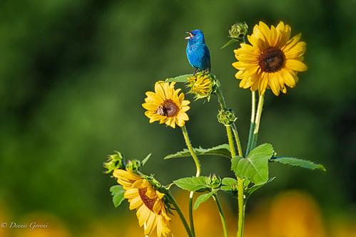 mckeebeshers action background bird indigobunting maryland summer sunflowers sunrise wildlife poolesville unitedstates us