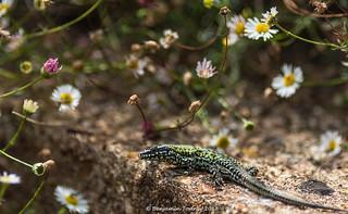 Wall lizard | by frattonparker