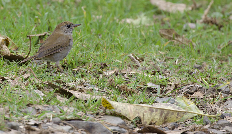 Ruddy-capped Nightingale-Thrush, Catharus frantzii_199A4967