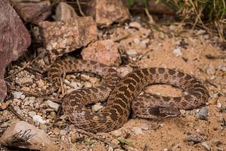 Texas Night Snake | by Frank Portillo