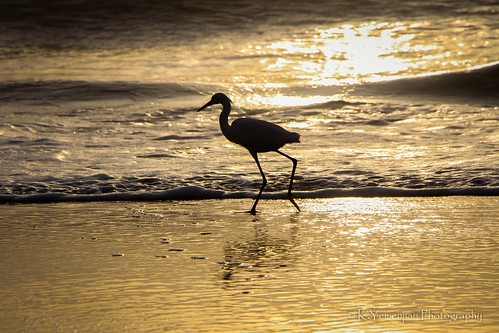 littleegret animal sunlight sunrise daytonafl florida silhouette oceanwaves waves atlanticocean