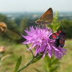 Schmetterlinge auf dem Tippelsberg