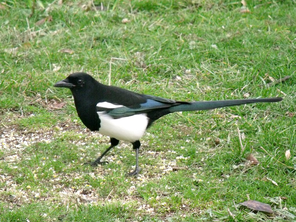 DSCF2028...black-billed magpie
