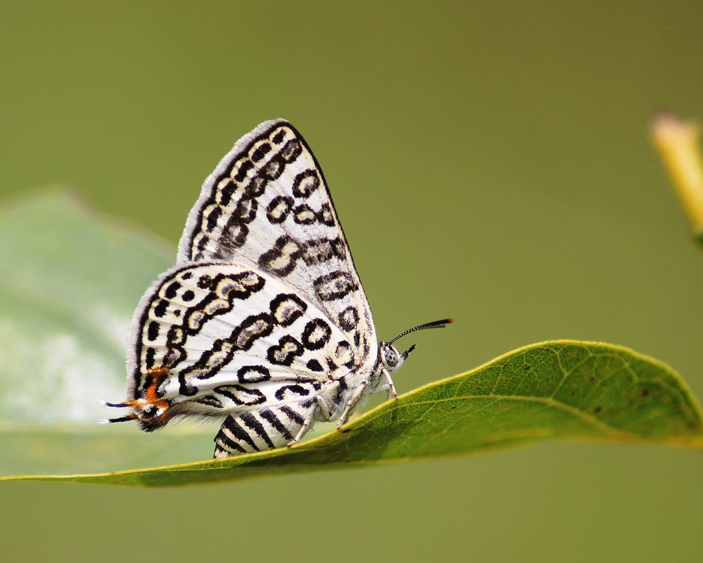 Apharitis lilacinus Moore, 1884 – Lilac Silverline