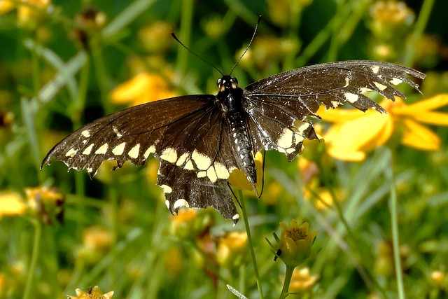 Handicap Black Swallowtail Butterfly Shows