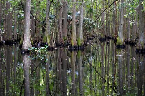 swamp water trees florida ncmountainman nikon d3200 phixe highlandshammockstatepark cypress lowresolutionversion