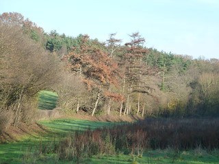 Autumnal Pines (Eridge Circular)