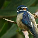 Birds of Sabah, Malaysian Borneo