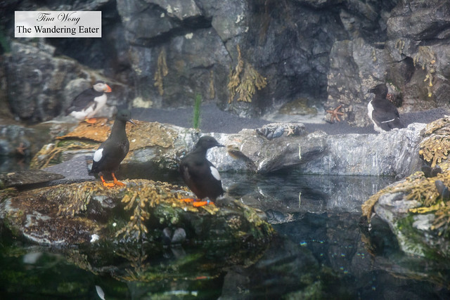 Black Guillemots and Puffin