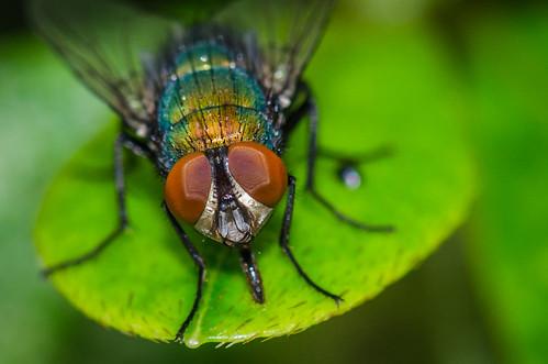 summer macro nature eyes leaf green insect fly housefly philadelphia pennsylvania unitedstates us nikon d7200 flytrap