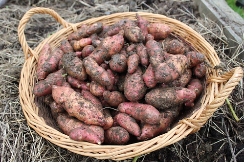 Pink Fur Apple Potato Harvest | by Local Food Initiative