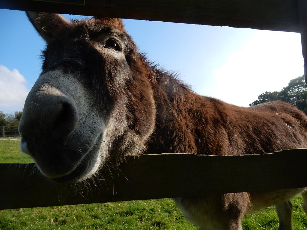 Lockwood donkey Witley to Haslemere