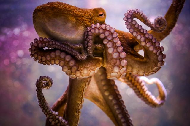 Key West Octopus