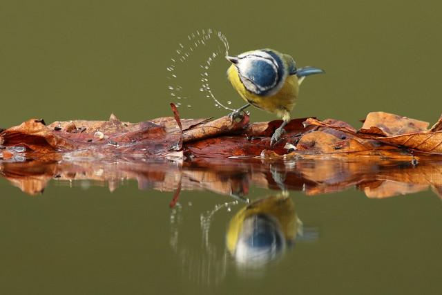 Cyanistes caeruleus ♂ Blue Tit
