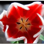 DSCN6818 Tulip