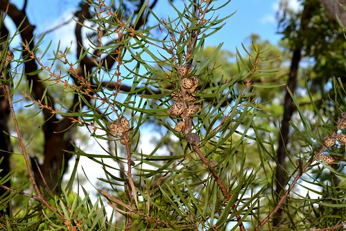 proteaceae hakea australianshrubs australianplants australianflora flaggycreeknaturereserve orararivervalley northcoastbotanicalsubdivision clarencevalley northernrivers nsw australia