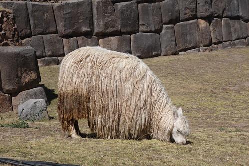 Sacsayhuaman - Lama