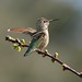 Anna's Hummingbird by K. Menzel Photography ( on and off)
