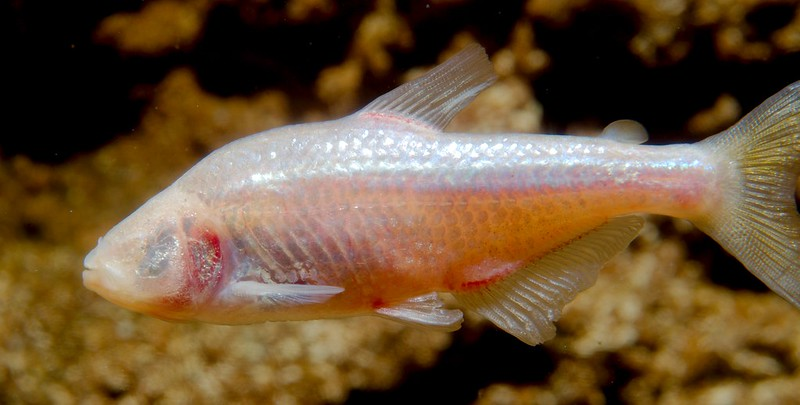Blind Cave Fish (Astyanax mexicanus)_5