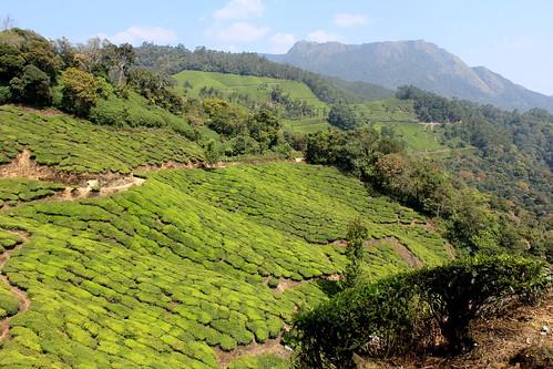 india kerala teaplantation westernghats sholaforest kannandevanhills