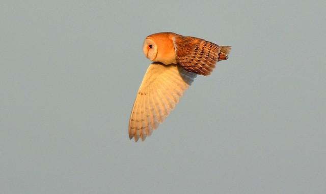 DSC_4123 Barn Owl