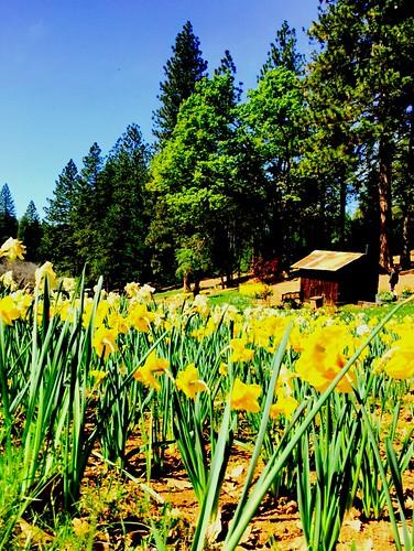 california flowers sky flower nature volcano daffodil blueskies 365 daffodilhill 2015365
