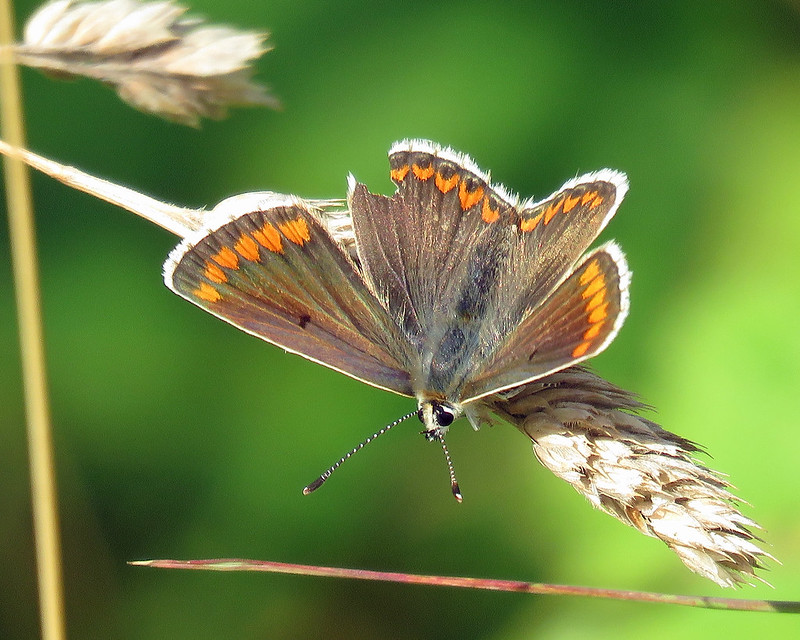 Brown Argus - Aricia agestis