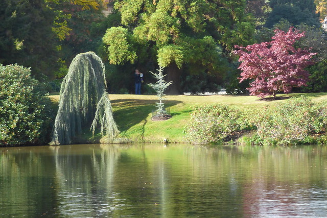 The weeping tree at Sheffield Park Garden, National Trust