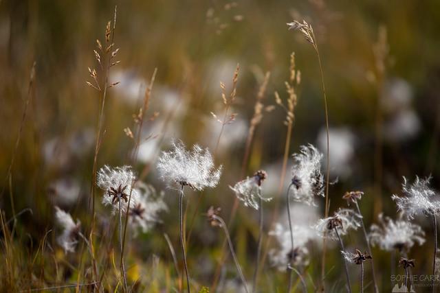 Cotton Grass, Hengifoss