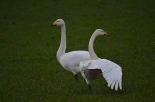 Whooper Swan | by markhows