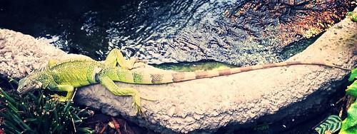Iguane vert | by quentel