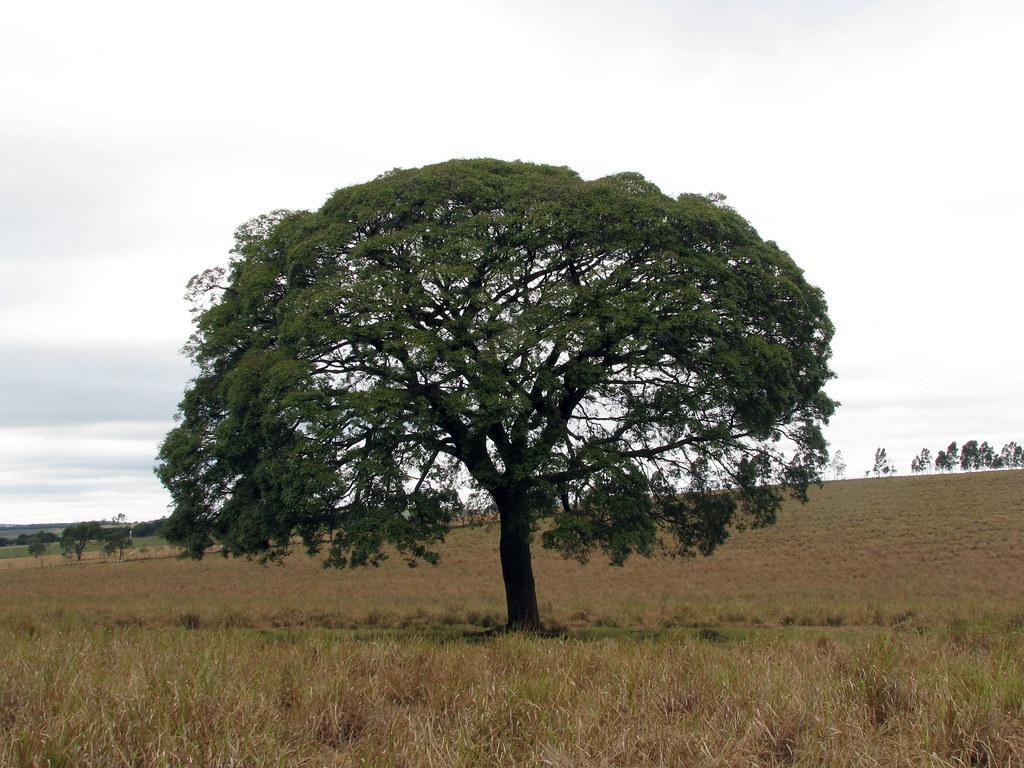 Copaifera langsdorffii 20110723_111118 (1)