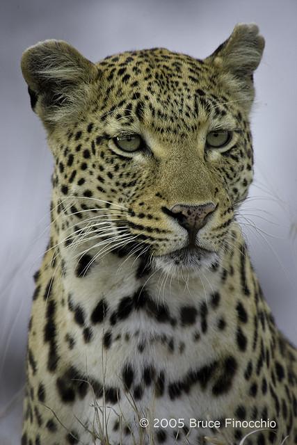 Female Leopard That Is Maxabene