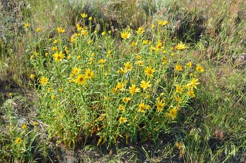 Helianthus cusickii 2015.6.8.1 | by geodesert