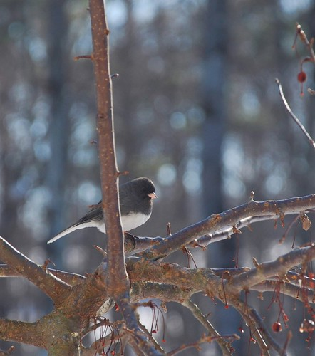 Junco | by A Storybook Life