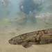Puffadder Shyshark dykk Mossel Bay, Sør-Afrika 2015