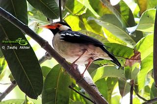 Asian-Pied-Starling-(Gu-Shalik) | by Poribesh.com