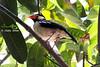 Asian-Pied-Starling-(Gu-Shalik)
