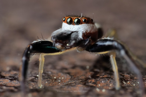 macro spider big jumping eyes jaws jumper 1855mm reversedlens reverselens salticidae hentziapalmarum hentzia orangemask