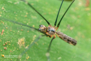 Daddy-long-legs spider (Uthina luzonica) - DSC_8554
