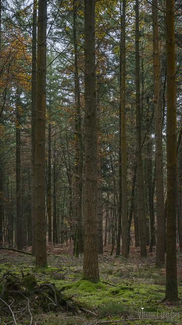 Pin douglas en forêt de Vouillé Saint-Hilaire