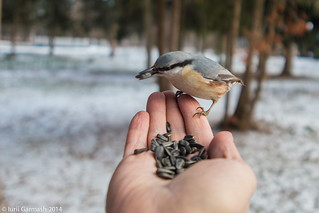 Feeding nuthatches from hand in a local park | by garmoncheg