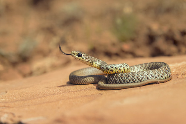 Western Yellow-bellied Racer (Coluber constrictor mormon)