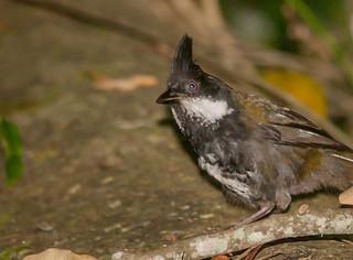 eastern whipbird (Psophodes olivaceus)-7593   by rawshorty