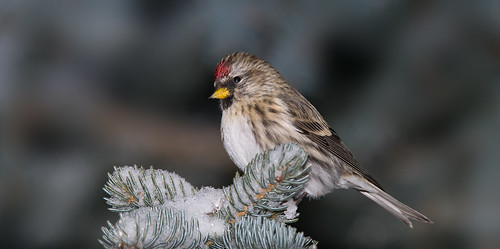 A Winter Visitor, Common Redpoll | by kdee64